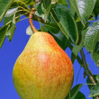 Ripe pear hanging on a branch — Stock Photo
