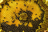 Sunflower head clouse-up — Stock Photo