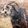Bearded goat — Stockfoto