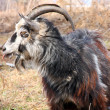 Stock Photo: Bearded goat