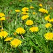 Close-up of many dandelion flowers at the field — Stock Photo