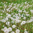 Summer  field  of  dandelions flowers — Stock Photo