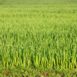 Royalty-Free Stock Photo: Green grass background texture straight