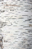 Bark of birch in the cracks texture — ストック写真