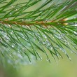 Stock Photo: Close up of Pine tree branch spruce dew