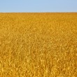 Yellow grain ready for harvest growing in a farm field — Stock Photo #6594282