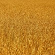 Yellow grain ready for harvest growing in a farm field — Stock Photo #6594285