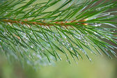 Close up of Pine tree branch spruce dew — Stock Photo