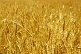 黄色の粒は圃場栽培収穫の準備ができて — ストック写真