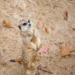 Meerkat Suricata suricatta — Stock Photo #5433818