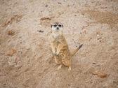 猫鼬 suricata suricatta — 图库照片