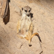 Meerkat Suricata suricatta — Stock Photo #5668253