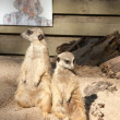 Meerkat Suricata suricatta — Stock Photo