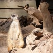 Meerkat Suricata suricatta — Stock Photo #5668271