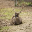 Stock Photo: North deer