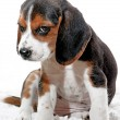Puppy dog with attitude - Stock Photo