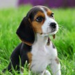 Pedigree beagle puppy playing outside in the grass - Stock Photo