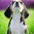 Beautiful thoroughbred beagle puppy on grass (focus on whiskers) — Stock Photo
