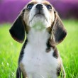 Beautiful thoroughbred beagle puppy on grass (focus on whiskers) - Stock Photo