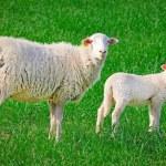 Sheep, ewe with baby lamb — Stock Photo