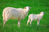 Sheep, ewe with baby lamb — Stock Photo