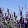 Lavender bush, aromatic plants - Foto de Stock