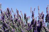 Lavender bush, aromatic plants — Stock Photo