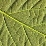 Avocado leaf — Stock Photo #5473760