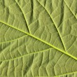 Avocado leaf — Stock Photo #5473791