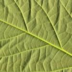 Avocado leaf — Stock Photo #5473791