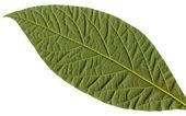 Avocado leaf — Stock Photo