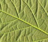 Avocado leaf — Stock Photo