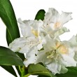 White rhododendron — Stock Photo #5539782