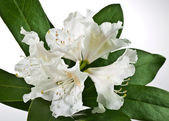 White rhododendron — Stock Photo