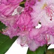 Pink rhododendron — Stock Photo #5689195
