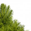 Young spruce tree — Stock Photo