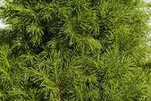 Fresh spruce branch — Stock Photo