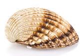 Concha do mar — Foto Stock