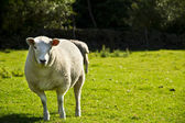 Sheep on medow — Stock Photo