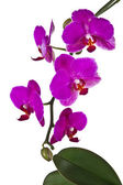 Pink orchid - isolated — Stock Photo