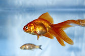 A goldfish in a tank with a feeder fish in the background — Stock Photo