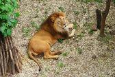 Resting lion — Stock Photo