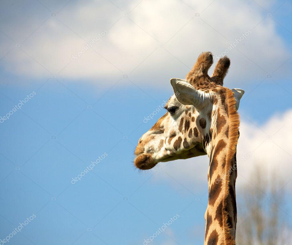depositphotos 5543222 A Rothschild giraffe school uniform nupple suck green eyes gura nyuto tentacles blue eyes ...