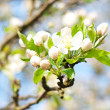 Flower apple-tree bright white illuminated by a bright ray of the spring s — Stock Photo