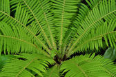 Green fern — Stockfoto