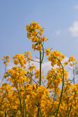 Blooming colza against blue sky — Stock Photo