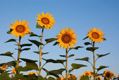 Four sunflowers against blue sky — Stock Photo
