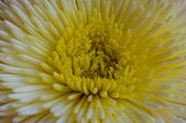 Flor amarilla tailandés — Foto de Stock