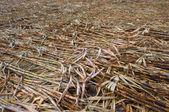 Granja de caña de azúcar — Foto de Stock