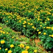 Yellow flower farm — Stock Photo